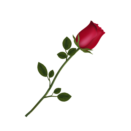 Vector illustration of photo-realistic, highly detailed flower of red rose isolated on white background. Beautiful bud of red rose on long stem. Clip art for valentines, love, wedding, design.