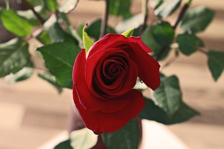 Top View of Beautiful Bud of Red Rose. Single Dark Red Ruby Rose on Wooden Floor and Leaves Background. Close Up View. Happy Valentine Day, Wedding, Love, Birthday Greeting Card, Invitation,