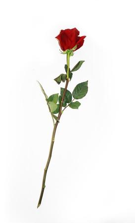 Hermoso capullo de rosa roja de tallo largo. Solo rosa rubí rojo oscuro aislado sobre fondo blanco. Vista cercana. Feliz día de San Valentín, boda, amor, imágenes prediseñadas de cumpleaños para tarjeta de felicitación, invitación,