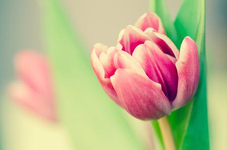 filtered: detalle de tulip�n rosa filtra efecto