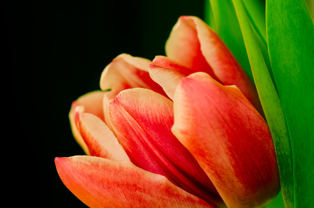 macro detail of orange pink tulip on black background photo