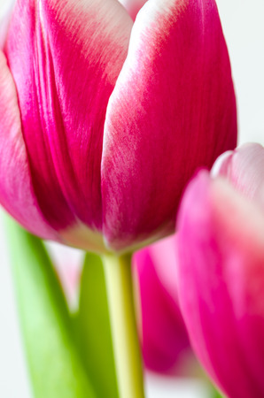 purple tulips on white background photo
