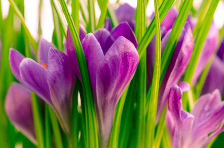 detail of violet crocus image photo