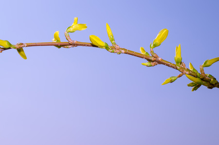 yellow forsythia flower colorful image photo