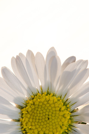 detail of daisy macro image photo