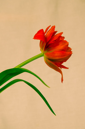 detail of red tulip image photo