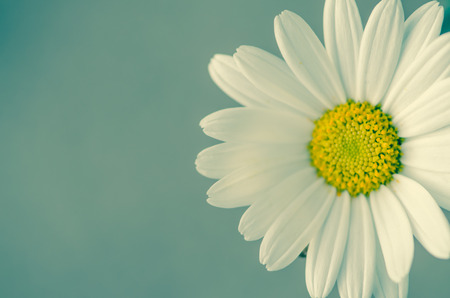 detail of white daisy on blue background  photo