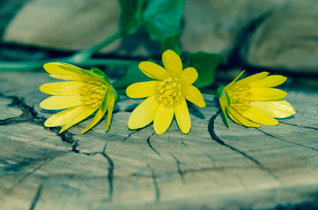 bunch of yellow kingcup flowers on wooden trunk photo
