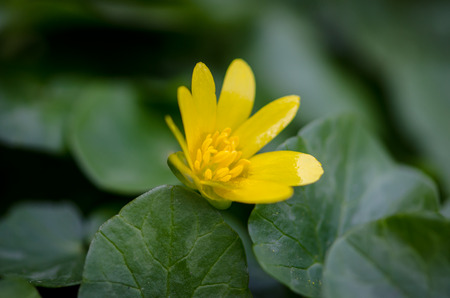 detail of yellow kingcup flower on green background photo