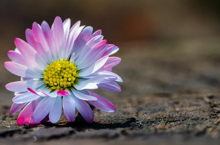 detail of white pink daisy on wooden background  photo