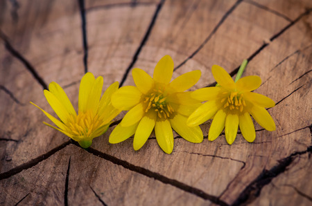 yellow kingcup flowers on wooden trunk photo