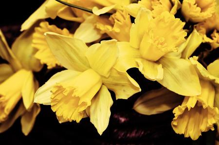 filtered: flores amarillas del narciso filtran efecto Foto de archivo