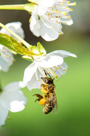 bee in blossoming tree outside photo