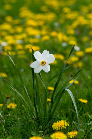 white daffodil  on green  yellow background photo