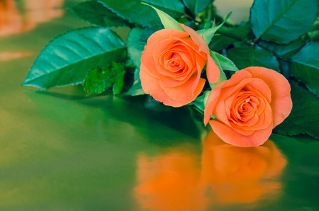two orange roses over green  background photo
