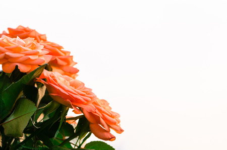 orange rose: orange rose over white background