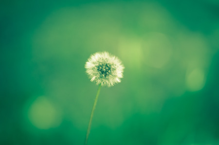 blossoming dandelion on green background photo