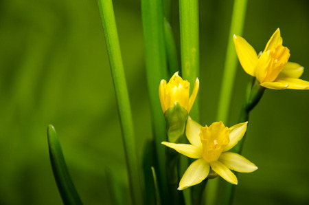 yellow daffodils on green background 스톡 콘텐츠