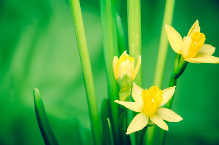 yellow daffodils on green background photo