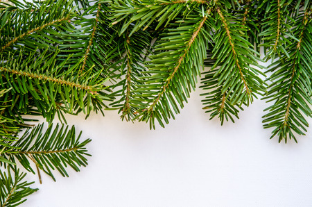 limb: green pine limb on white background Stock Photo