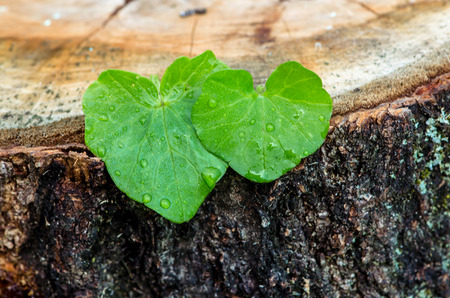 two green leaves in heart shape with water drops photo