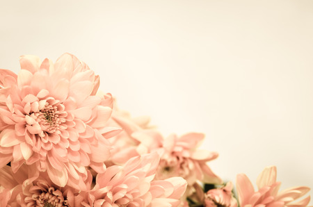 funeral background: chrysanthemum flower Stock Photo