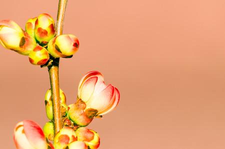 filtered: efecto de imagen detalle de flores de color rosa cereza filtrada