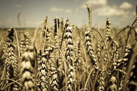 yellow rye field image background photo