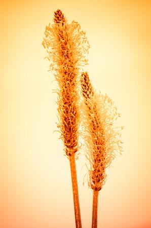 detain: detain of plantain flower at sunset