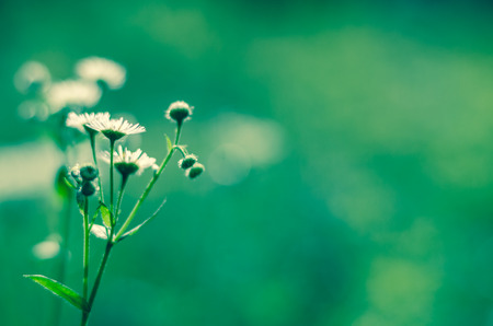 chamomile flower: detail of chamomile  flower on green background