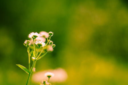 detail invitation: detail of chamomile  flower on green background