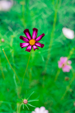 detail invitation: detail of beautiful pink cosmos flower on green background