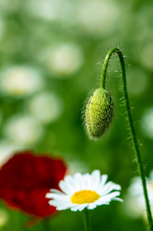 red corn poppy bud on floral  daisy meadow photo