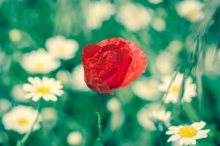 red corn poppy in floral  meadow photo