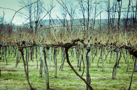 uncultivated: view on uncultivated spring vineyard image