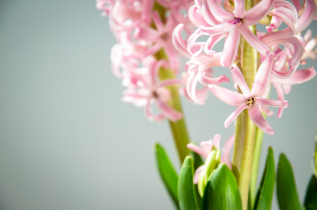 pink  leaf: detail of pink hyacinth flower Stock Photo