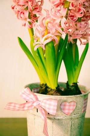 hyacinth: pink hyacinth flower in pot Stock Photo