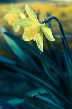 filtered: Dos flores amarillas del narciso de efecto filtrada Foto de archivo