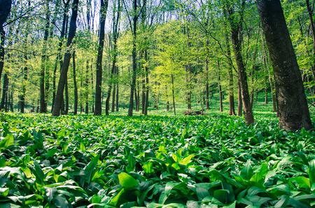 field of green wild garlic in spring woods