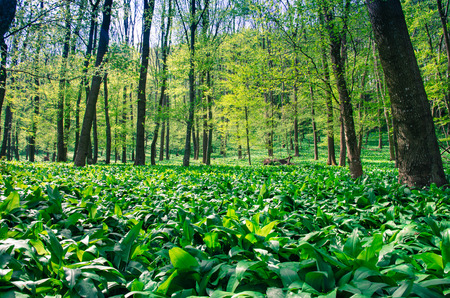 field of green wild garlic in spring woods