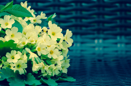 cowslip: yellow cowslip bunch in bench