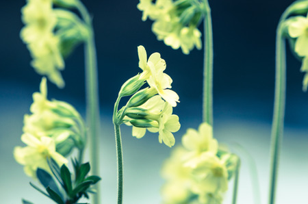cowslip: group of yellow cowslip flower