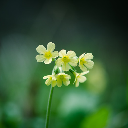 cowslip: yellow cowslip flower over green colored background