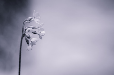 cowslip: fragile black and white cowslip flower concept Stock Photo