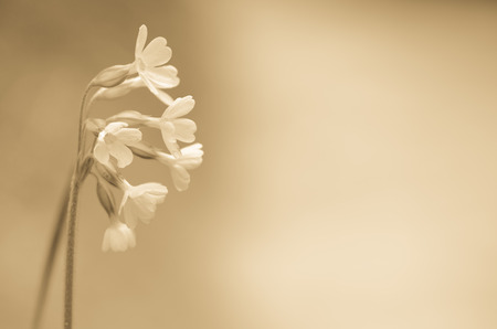 fragile sepia tonned cowslip flower concept Stock Photo