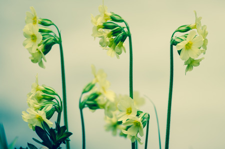 cowslip: yellow cowslip flower over blue background Stock Photo