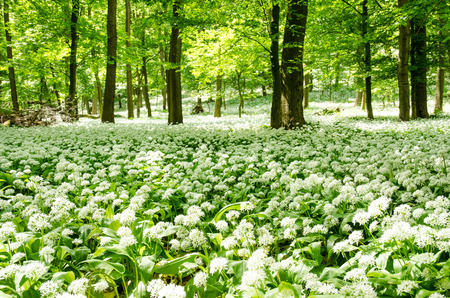 meadow of blossoming wild garlic with white flowers in woods