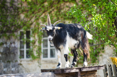 billygoat: majestic guarding billy goat animal