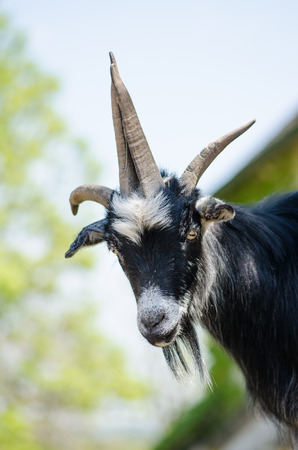 billygoat: head of majestic billy goat animal Stock Photo