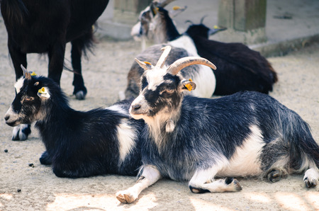 billygoat: group od goats lying down on ground